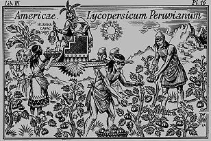 Récolte des tomates par les indiens Péruviens en 1495